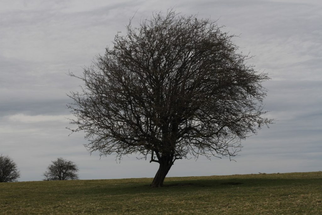 A photograph of a tree alone on a hill, with leafless, thin winter branches tangled together in a close network. A cloudy sky and green field provide a backdrop
