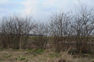 Hedgerow managed under coppice rejuvenation