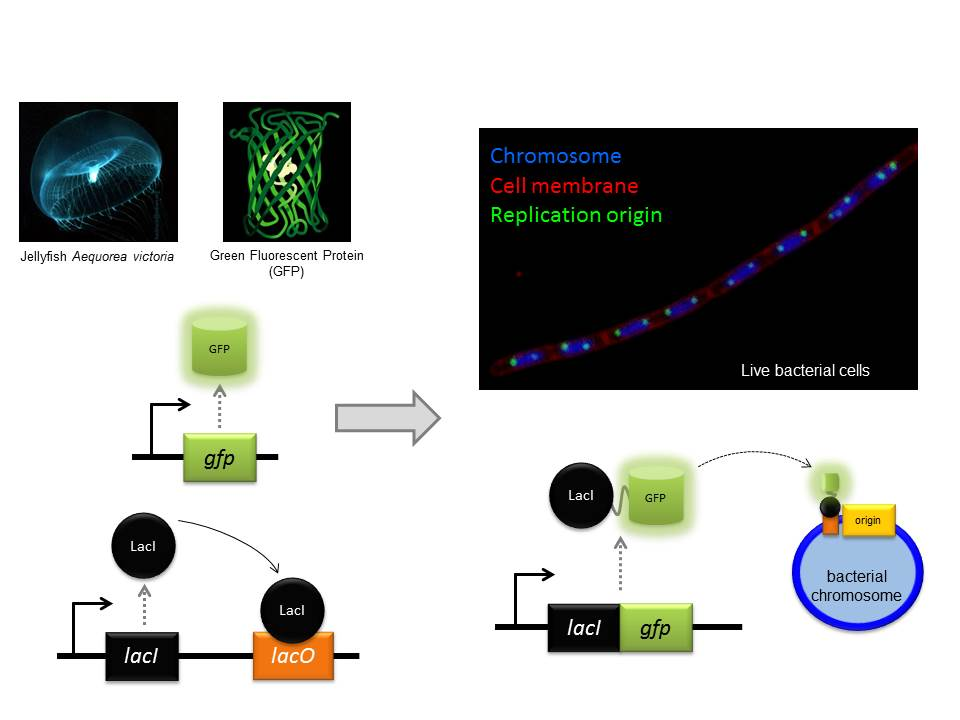 The GFP protein from jellyfish can be used to fluorescently tag proteins in vivo. Fluorescence microscopy can then be used to localise the tagged protein within the bacterial cell.