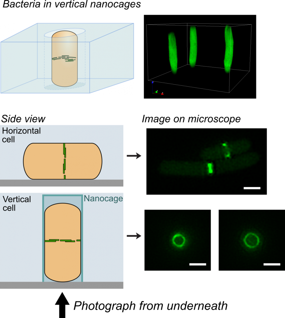 Bacteria trapped in vertical nanocages