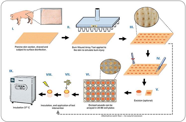 hot off the press: high-throughput skin burn wound model for infection  control