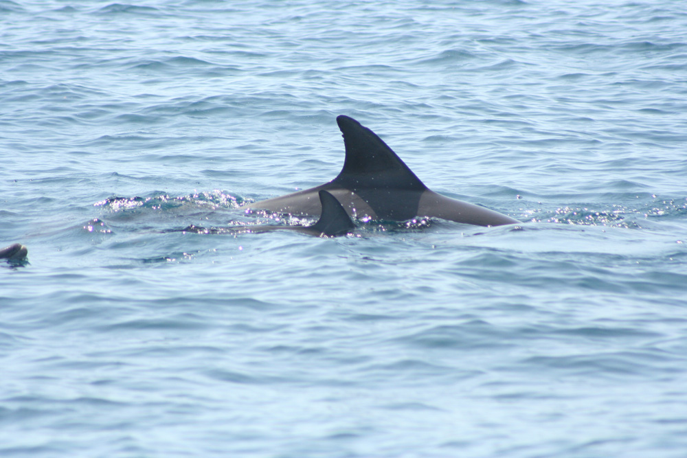 Common dolphin research