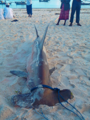 Ac Not Working >> Zanzibar Shark Project Update 13/02/2013 – When tigers ...