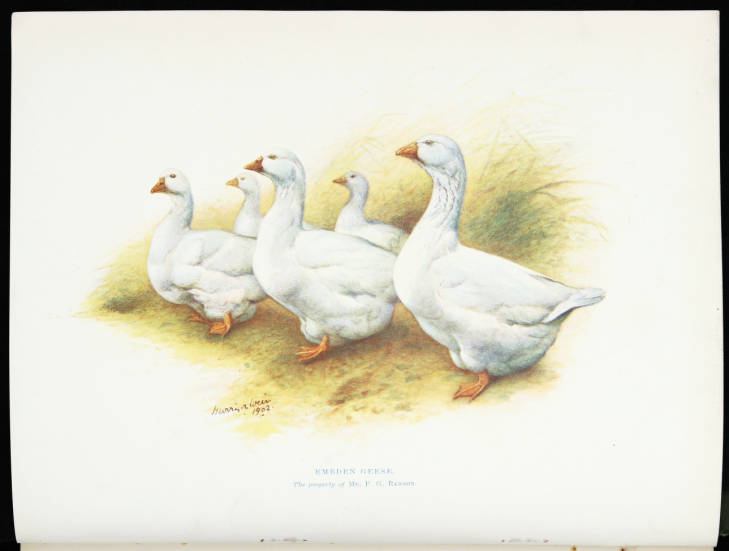 Illustration of geese from Our Poultry (Douglas Gilchrist Collection, G636.5 WEI)