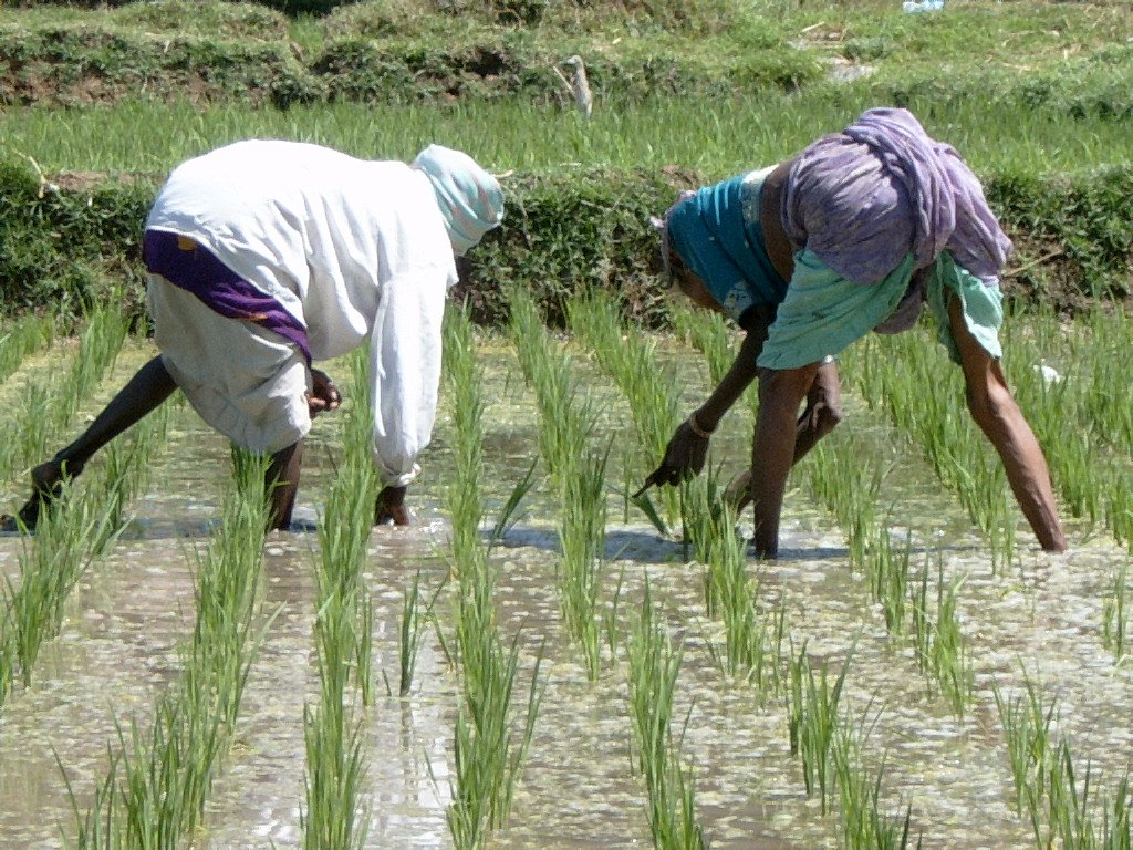 working_in_the_rice_paddy